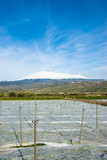 Growing of seedling on the background the volcano Etna poster