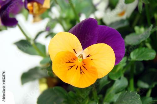 Fotobehang Pansies Pensée orange et violette