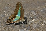 graphium sarpedon luctatius, common bluebottle butterfly poster
