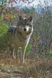 Fototapeta Zwierzę - Canino - Dziki Ssak