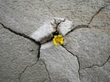 Yellow flower growing in dry cracked soil poster