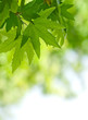 roleta: green leaves, shallow focus