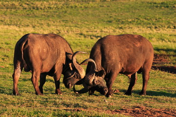 Cape Buffalo Bulls Fighting (Syncerus caffer)