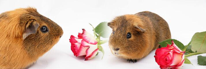 bannière de cochon d'inde et de roses