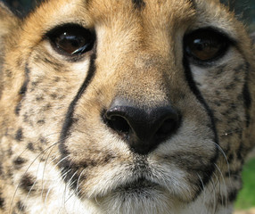 Cheetah head close up