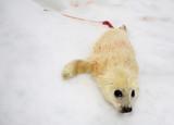 Newborn harp seal pup poster
