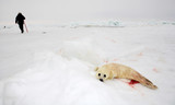 Baby harp seal pup on ice poster