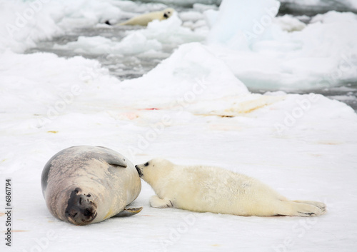 poster of Happy mother harp seal cow and newborn pup on ice