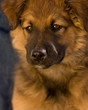 Austrailian Shepherd Dog