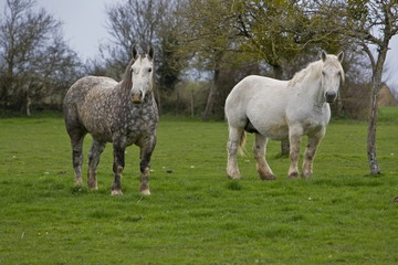 2 percherons