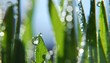 fresh green grass with drops