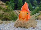 gold fish smile close-up humor on a face tropical underwater poster