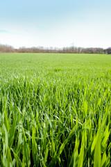Campo grano verticale 3
