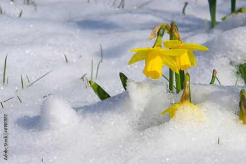 In de dag Narcis Osterglocke 02