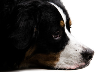 Close up of a dogs face lying down on a white background