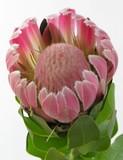 downy hugh pink flower poster