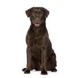 Labrador (8 months) poster