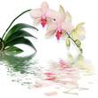 reflet de phalaenopsis - orchidée papillon