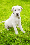 Cute Labrador Puppy On Grass