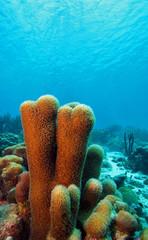 Pillar coral (dendrogya cylindrus)