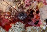 Long-spined urchin (Diadema antilarum) poster