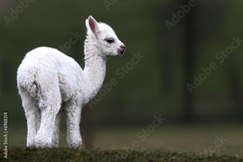 Plexiglas Lama alpaca