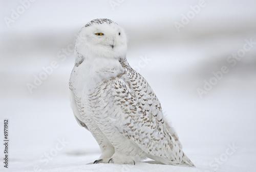 Foto op Canvas Uil Harfang des neiges