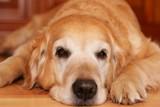 Bored dog - of golden retriever poster