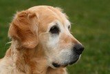 Detail of head of the dog - golden retriever poster