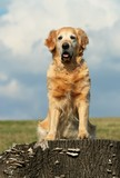 Golden retriever sitting on stub of tree poster