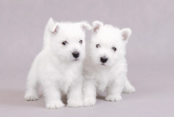 West Highland White Terrier / westie puppies