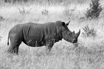 White rhino in kruger park