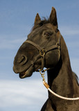 happy black stallion poster