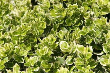 Euonymus shrub