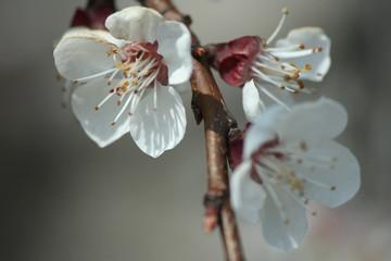 fiori bianchi di ciliegio