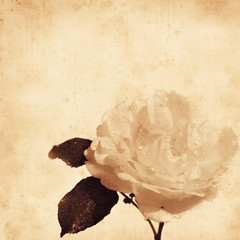 old paper background with old-fashioned rose, water drops
