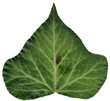 Detailed ivy leaf