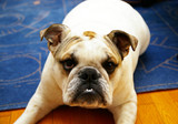 Cute young bulldog lying on interior rug poster
