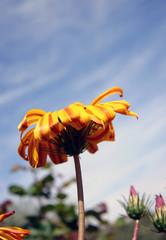 flor naranja con cielo azul