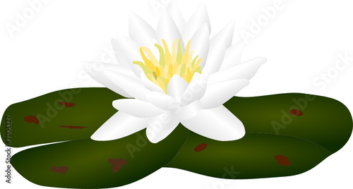 vector  - white water lilly nymphaea
