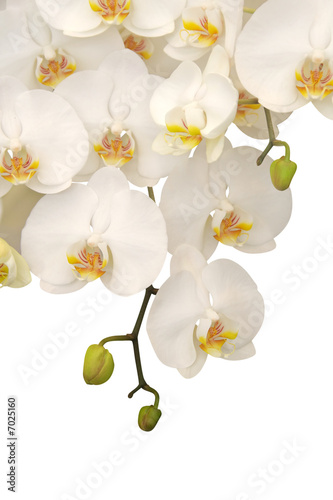 Panel Szklany Hanging white orchid