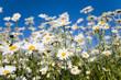 Leinwanddruck Bild Field of daisies
