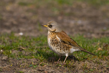 fieldfare on spring day (aka turdus pilaris)