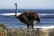 Leinwandbild Motiv southern ostrich struthio camelus