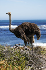 southern ostrich struthio camelus