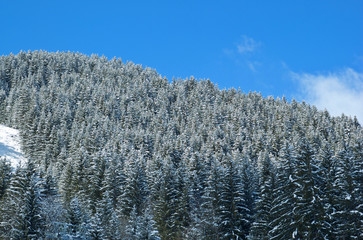 Snow covered pine forest