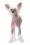 Chinese crested dog isolated against white background poster