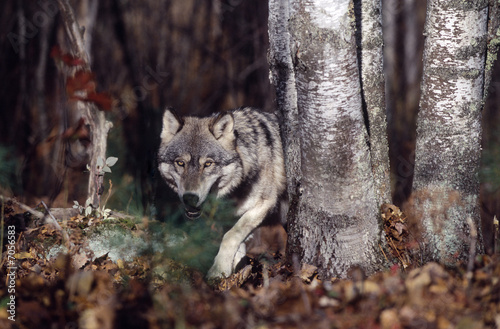 Tuinposter Wolf Gray wolf in forest