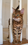 Bengal Cat on stairs poster