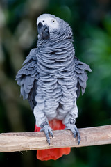 african grey parrot wagging